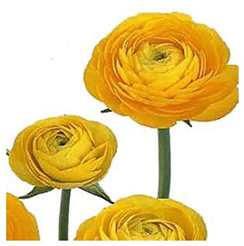 Yellow French Peony Ranunculus Corms - 12 Largest Size Bulbs