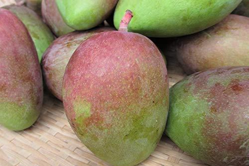 【予約開始】青切りマンゴー1kg【摘果マンゴー】マムアンディップ