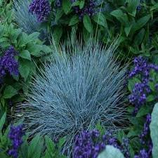 100 graines - Graines bleu fétuque graminée (Festuca glauca Botrytis Varna)