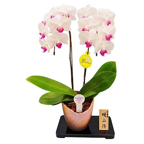 ミニ胡蝶蘭 ギフト 信楽焼き 4.5号鉢 2本立 ホワイト お花 プレゼント お祝い 生花 鉢植え 開店祝い 父の日 敬老の日 おじいちゃん 贈り物