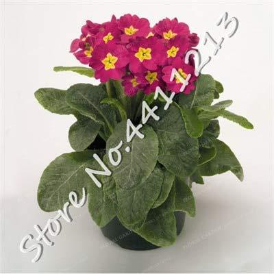 SANHOC 200 Stück Echtnachtkerze Europa Primel malacoides Farbe Bonsai Blume wachsen in Töpfen Zimmerpflanze Einfach für Hausgarten mischen: 12