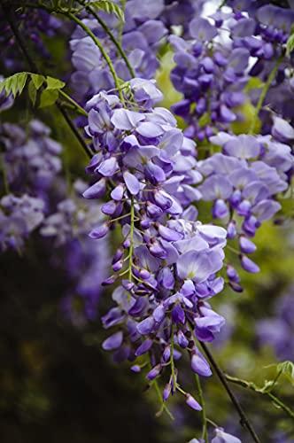 Wunderschöne Kletterplanze - Chinesischer Blauregen - Wisteria sinensis- verschiedene Größen (35+cm Topf 3 Ltr.)
