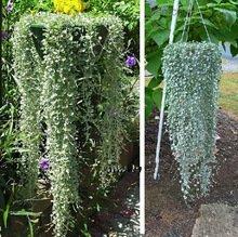 100 Dichondra Repens argent de graines de gazon suspendus plantes de jardin décoratives font des graines de fleurs