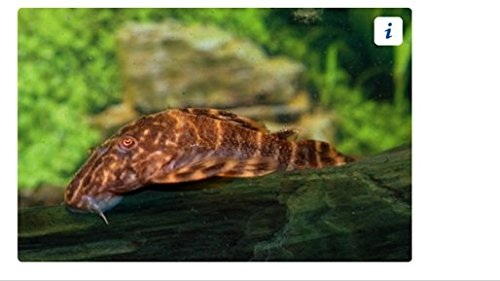 Clown Pleco - Freshwater Live Tropical Aquarium Fish