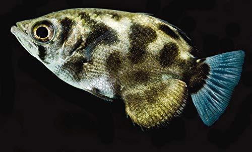 【熱帯魚・その他】 ゼブラアーチャーフィッシュ ■サイズ:7cm± ※ミャンマー産 (3匹)