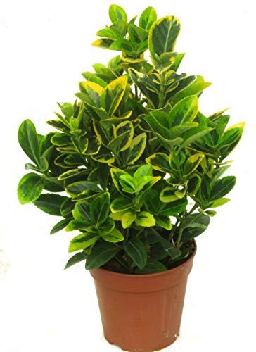 Euonymus japonicus 'Aureomarginatus' Japanischer Spindelstrauch - winterharter, wintergrüner, Strauch 13 cm - als Kübelpflanze - für Balkon, Terrasse, Garten, als Hecke