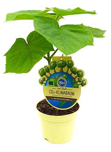 Kiri baum - CO2-Klimabaum (auch Blauglockenbaum, Kaiserbaum, Paulownia Fortunei X P. Tomentosa)