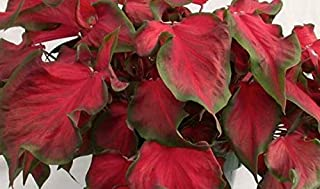 Best caladium red ruffles Reviews