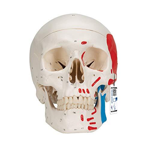 3B Scientific Menschliche Anatomie - Klassik-Schädelmodell mit magnetischen Verbindungen, bemalt, 3-teilig + kostenloser Anatomiesoftware - 3B Smart Anatomy