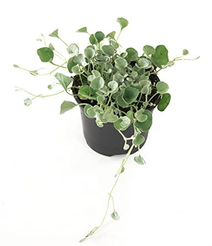Isenzo Dichondra Silver, Pflanzen Hängepflanze für Balkon Dichondra Argentea Silberregen hängende Pflanze
