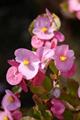 Free UK Postage 9 x Pink Begonia grandiflora Tubers to Plant Yourself