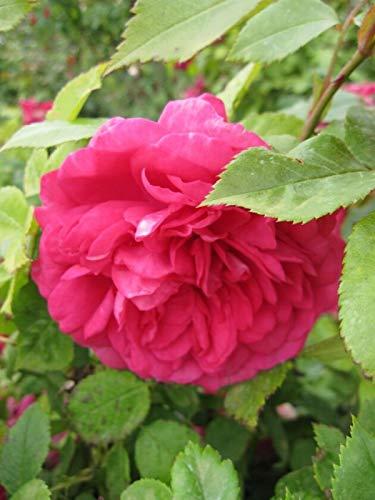 Kletterrose Laguna® - Rosa Laguna® - pink - Duft+++ - Kordes-Rose