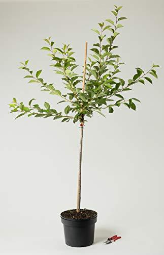 Sauerkirsche Schattenmorelle - Prunus cerasus Schattenmorelle 120-160 cm hoch - Garten von Ehren