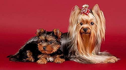 LIWeißY DIY maßen Nach Zahlen Kits,  em e, maßen Nach Zahlen Für Erwachsene Leinwand Home Decor, 2 Nette Hunde, Mit Rahmen, 50x6cm