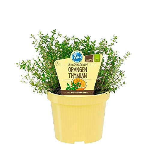 Bio Thymian Orangen - Thymian (Thymus fragrantissimus), Kräuter Pflanzen aus nachhaltigem Anbau, (1 Pflanze)