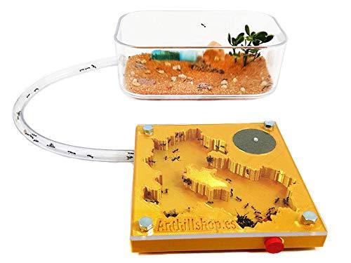 Anthillshop.es Kit Hormiguero Educativo 3D 10x10 Espuma Color Oro (con Hormigas Gratis, de 20 a 30 obreras).