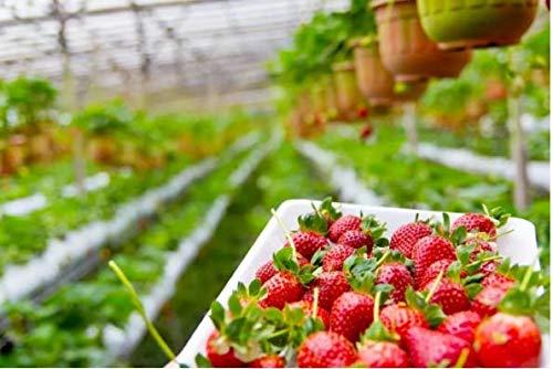 Beautytalk-Garten 100Stück Kletter-Erdbeere Samen mehrjährig Erdbeerbäumchen schnellwachsende Klettererdbeeren, selbstfruchtend Climb Obst Samen