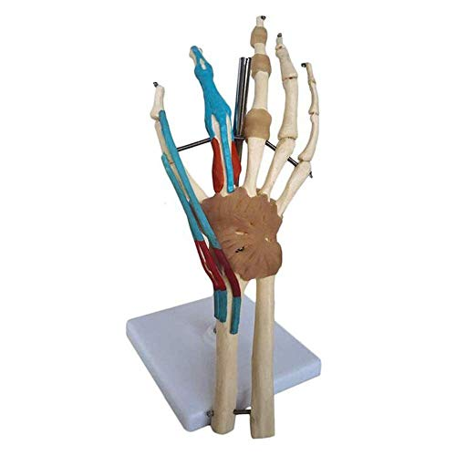 AIOXY Anatomical Model of Human Joints, Anatomical Wrist is an Anatomical Model of Muscle Function of Other Vascular ligaments, Medical Education Assistance