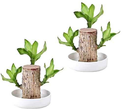 HAVAJ Mini planta hidropónica brasileña de madera de la suerte, plantas hidropónicas de escritorio en madera brasileña plantas de tocón purificadoras