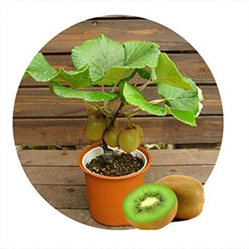 Uzinb 100 Piezas/Bolsa Kiwi Frutas Semillas Actinidia chinensis Delicioso jardín Frutas Semillas