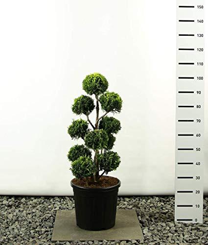 Hecken Formschnitt Gartenbonsai - Chamaecyparis lawsoniana Stardust - Zypresse - Multibol - verschieden Größen - (Gesamthöhe 100-125 cm - Topf 20 Ltr.)
