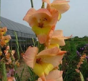 graines 200pcs glaïeul, graines de glaïeul, 95% de germination, les plantes en pot bricolage aérobie, graines rares de lys d'épée, Orange