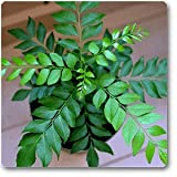 Curry Leaf Seeds,10 Curry Leaves Plant Seeds, Murraya koenigii Seeds, Curry Plant Seeds for Indoor/ Outdoor Planting from Sri Lankan Organic Home Garden(Delivery 3-4 Weeks)