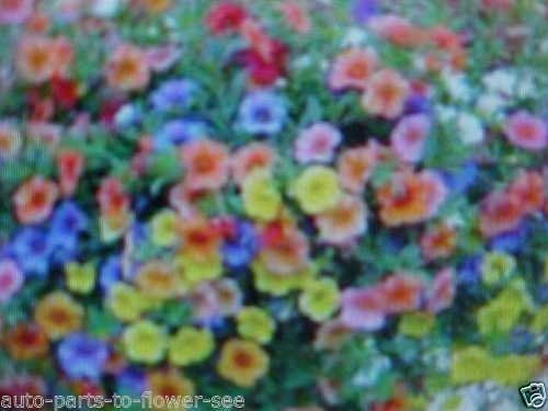 Taille naine « colorée » Mélange de Pétunia pendaison panier ou au sol Graines de fleurs