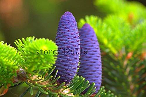 100 dahlia Seds dahlia fleur envoyer coréenne Fir, Abies koreana semences graines bonsaï de fleurs pour la décoration maison plante facile
