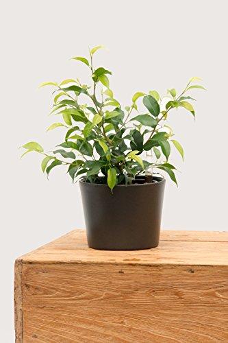 Evrgreen Birkenfeige Natascha 25-30 cm inkl. Topf in anthrazit coole unempfindliche Zimmerpflanze in Hydrokultur für Halbschatten Ficus benjamina 1 Pflanze