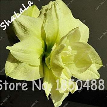 Fash Lady 2 ampoules d'amaryllis, bulbes de fleurs de Hippeastrum, bulbes de fleurs bonsaï (pas de graines), plante de jardinage en pot de Barbados Lily 13