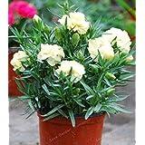 。ホームガーデンのための100個カーネーション多年生の花の高い生存率M花レア花:5