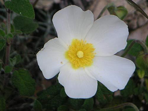 GETSO Samen-Paket Nicht Pflanzen: 40 Ciste Seeds Montpellier (Montpellier-Zistrose) Y119 White Rock Rose Seeds