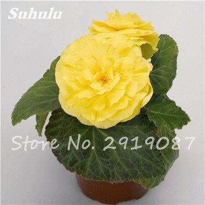100 Pcs Begonia Graines de fleurs, Rare Rose Rieger Begonia Chinese décoratives Plantes Bonsai pour jardin et balcon Facile à planter 10