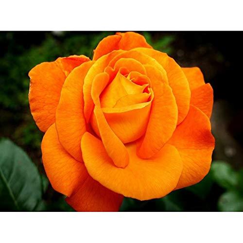 Kit de pintura de diamantes 5D por números, hermosa flor de rosa naranja de 30 x 40 cm, lienzo con diamante de punto de cruz (flor)