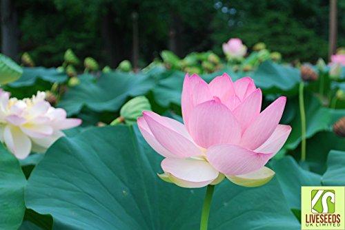 Liveseeds - Bonsai Lotus / Bowl Lotus Pond / Eau Lily Fleur / Rose 5 graines