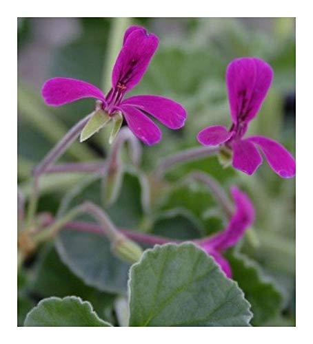 Pelargonium reniforme - Kapland-Pelargonie - 3 Samen