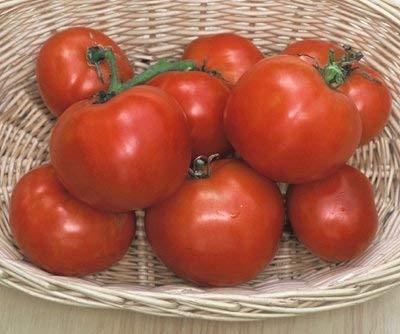 30 graines du Manitoba - Les tomates en début de saison