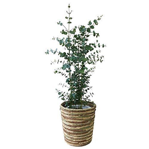 ユーカリ・グニー 中型8号 鉢植え 鉢カバー付き(鉢カバーB)