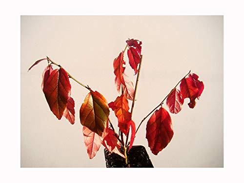 PARROTIA PERSICA - Planta de madera de hierro persa (15-20 cm de altura) en una maceta de 7 cm - Árbol pequeño con espectacular coloración otoñal