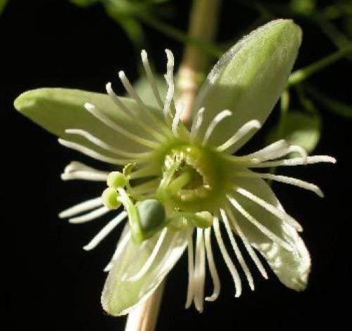 Passiflora gracilis gaufrées Passion Flower 10 graines