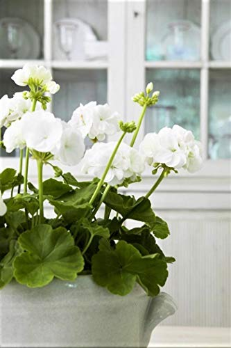 Portal Cool 100 Pcs Blanc RARES Géranium Garden Accueil Graines Sakura Décor Bonsai