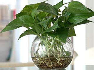 Live Money Plant with Glass Pot Best Gifting Plant