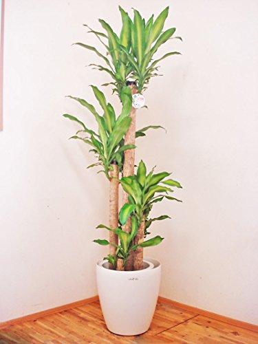 花言葉は幸福!!ドラセナ・マッサンゲアナ(幸福の木)/170センチ前後(10号プラ鉢)【鉢カバー別売り】