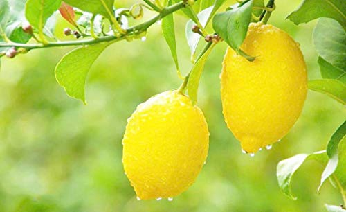 Organic Lemon Fruit Tree 20 semillas para plantar en interior/exterior (Yellow Lemon Seeds)