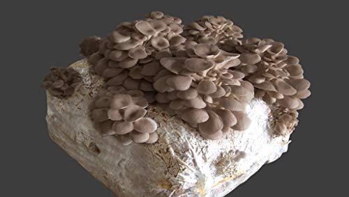 acquaverde 2 Pezzi Pane di Funghi Cardoncelli Pugliesi da 3 kg più Cacciate Micelio Funghi della Murgia