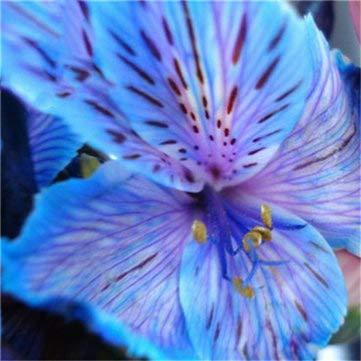 DaDago 100 Pz/Pacco Semi di Giglio Raro Giglio Peruviano Alstroemeria Piante Bonsai Mix-Colore Belle Gigli Fiore per La Casa E Giardino Decorazione-2
