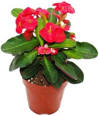 PlantaZee Euphorbia Mili Natural Live Plant with Pot Pot Flower Plant