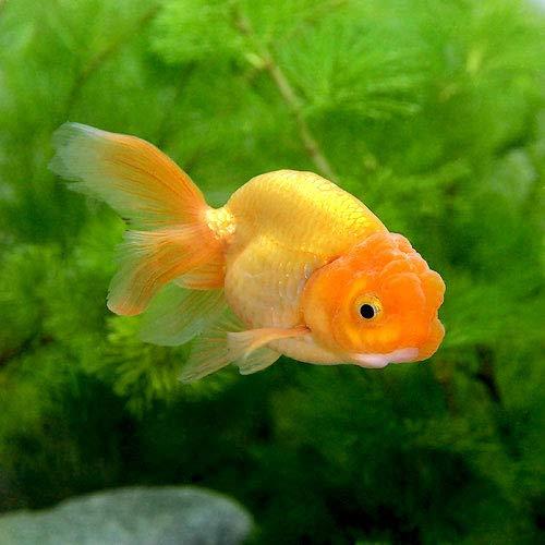 (国産金魚)秋錦(3匹)