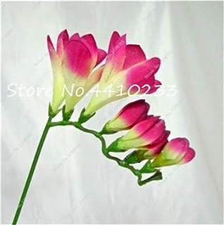 GEOPONICS Semillas: 100 Pcs Freesia Bonsai Plant, No fresia Bulbos flores de las orquídeas de colores Plantación fragante flor de Bonsai magnífico jardín de DIY: r